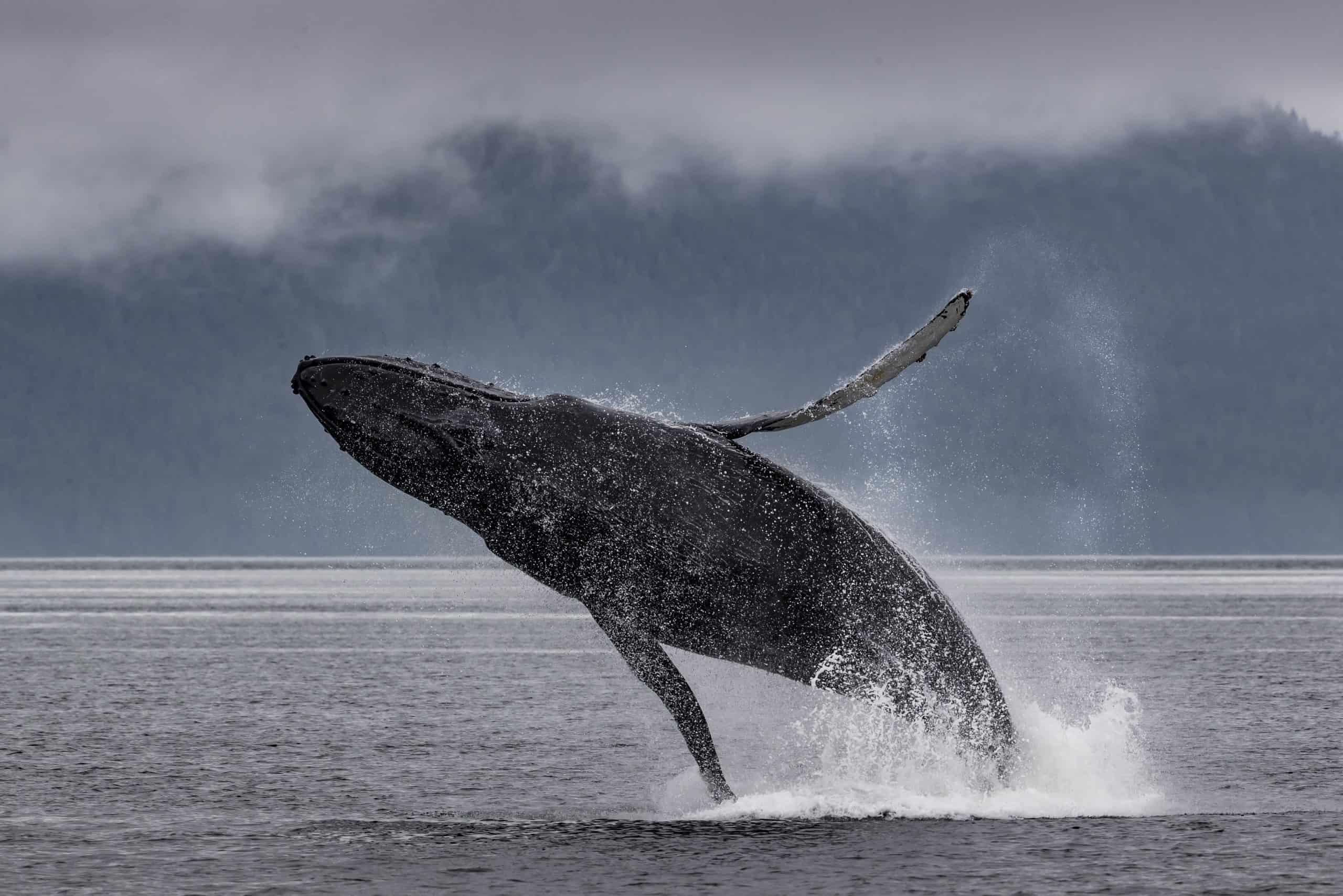 Alaskan humpbacks (1)