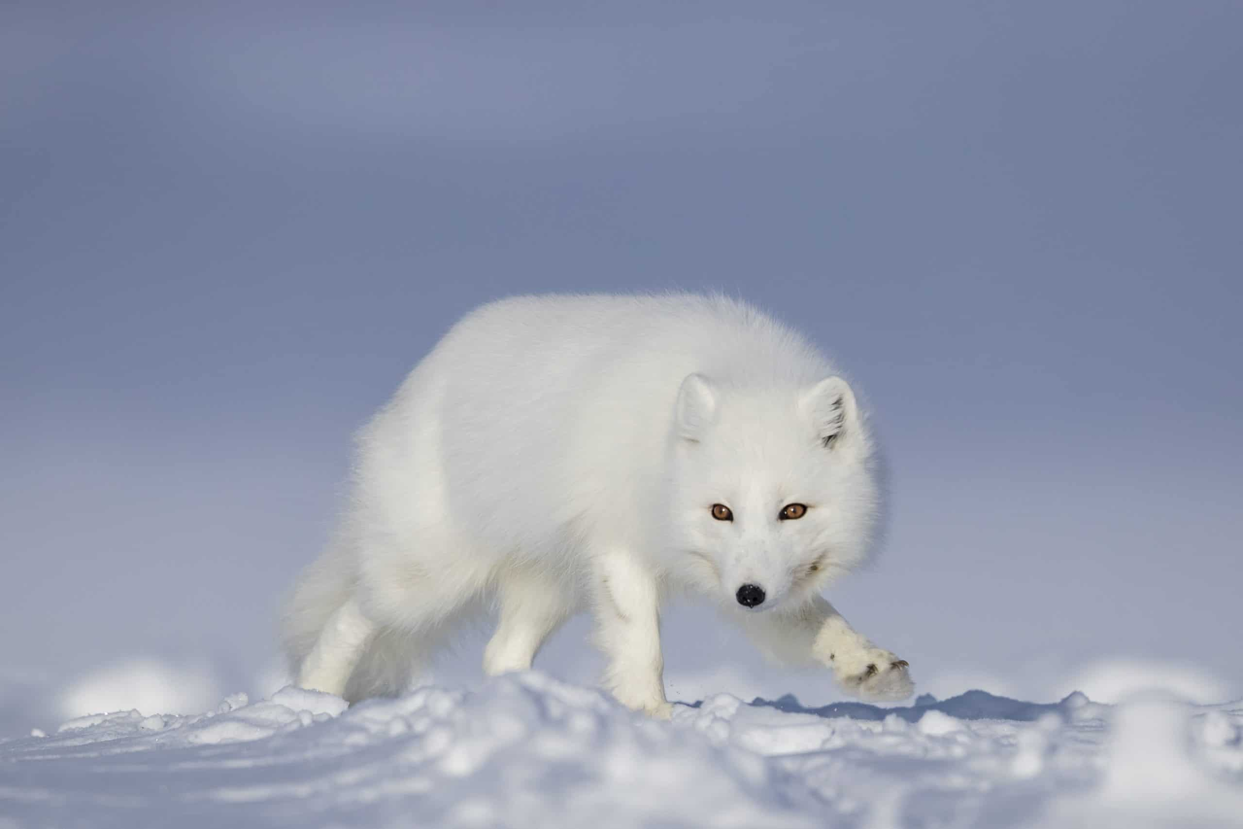 April Baffin Island polar bear and Arctic foxes (2)