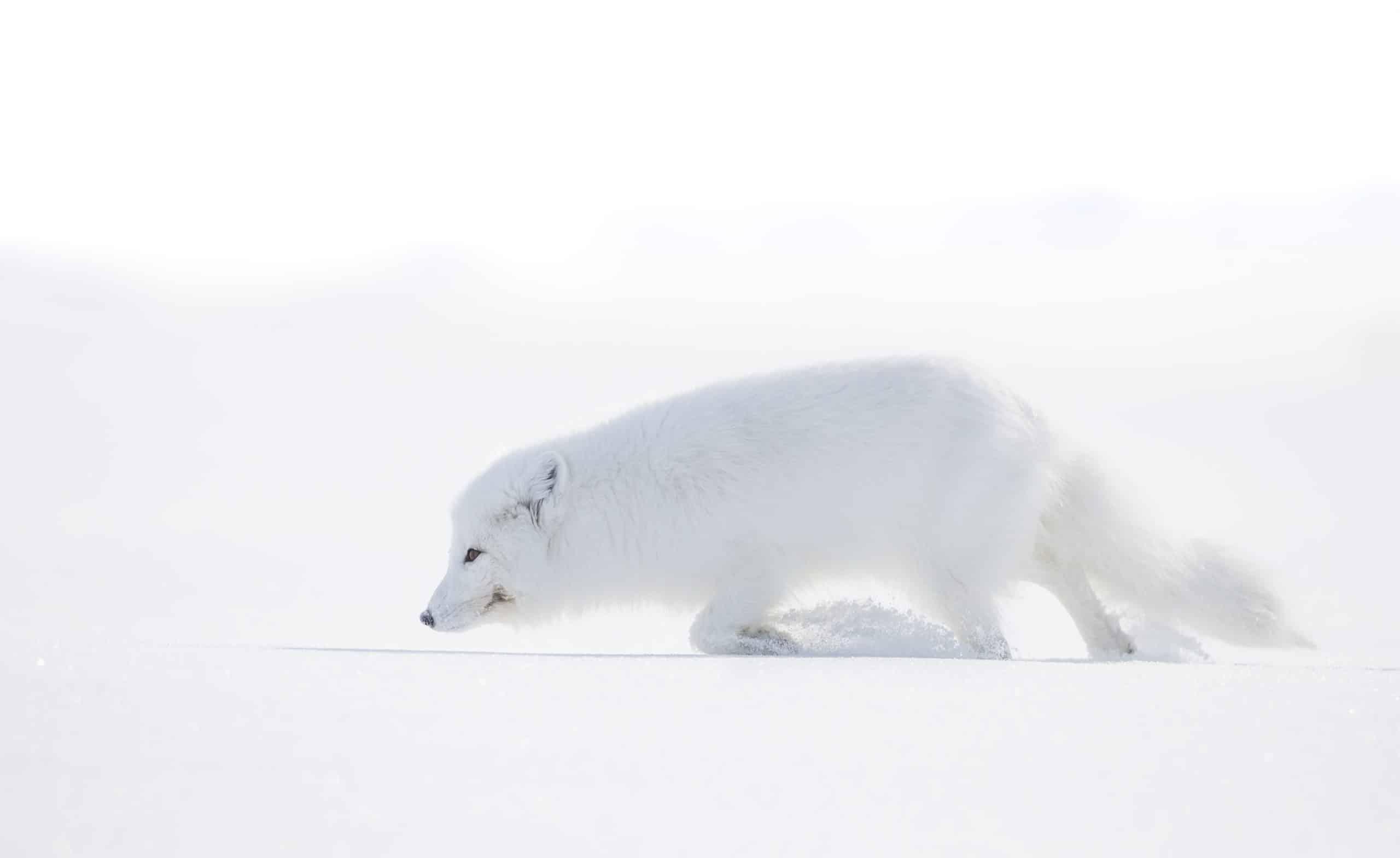 April Baffin Island polar bear and Arctic foxes (4)