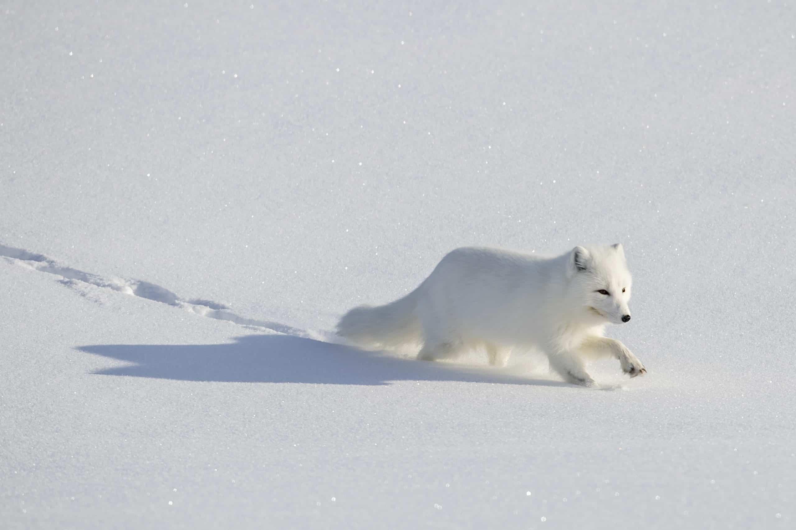 April Baffin Island polar bear and Arctic foxes (5)