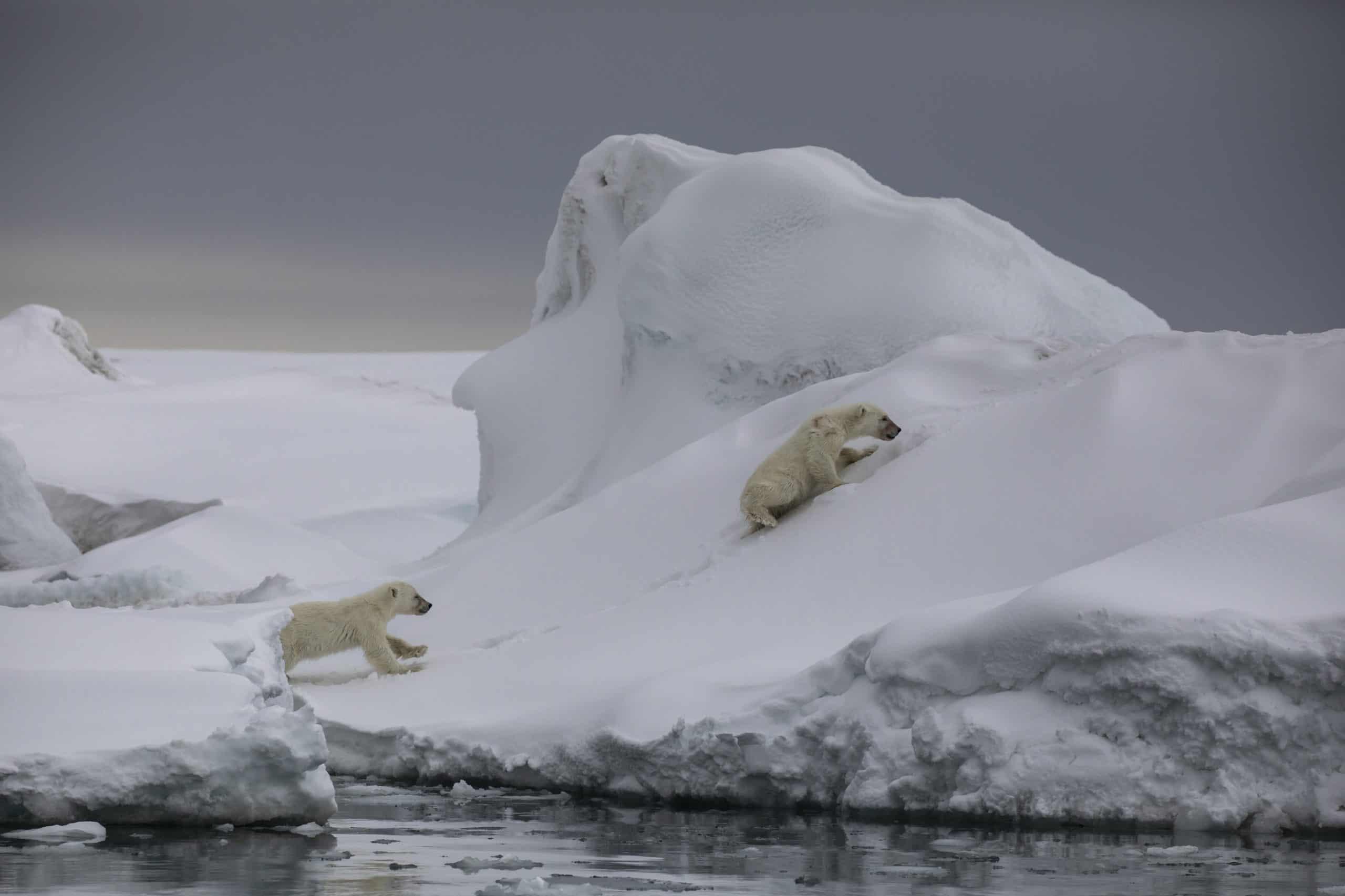 June Polar bear cubs Spitsbergen