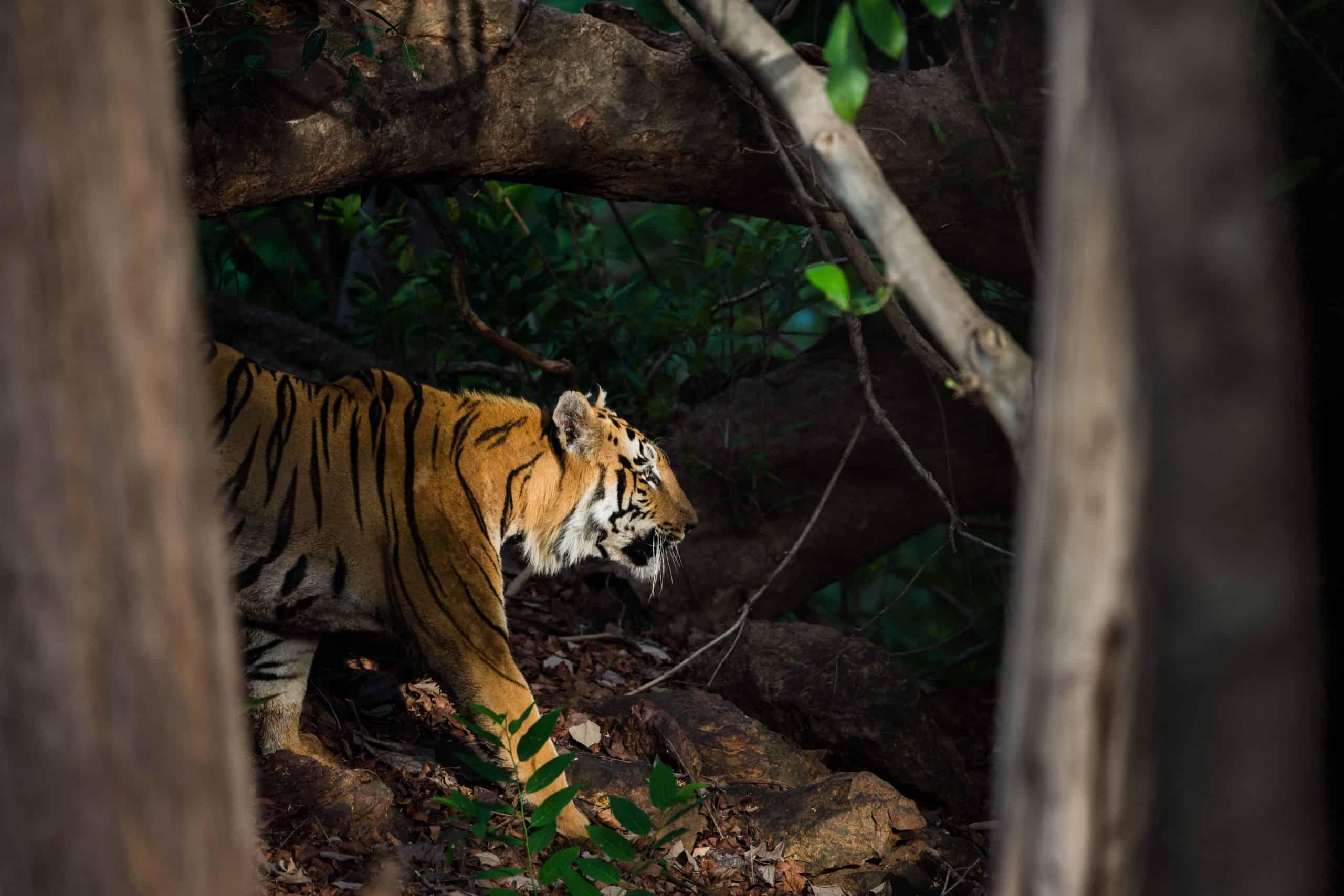 Male tiger, Tadoba (1)