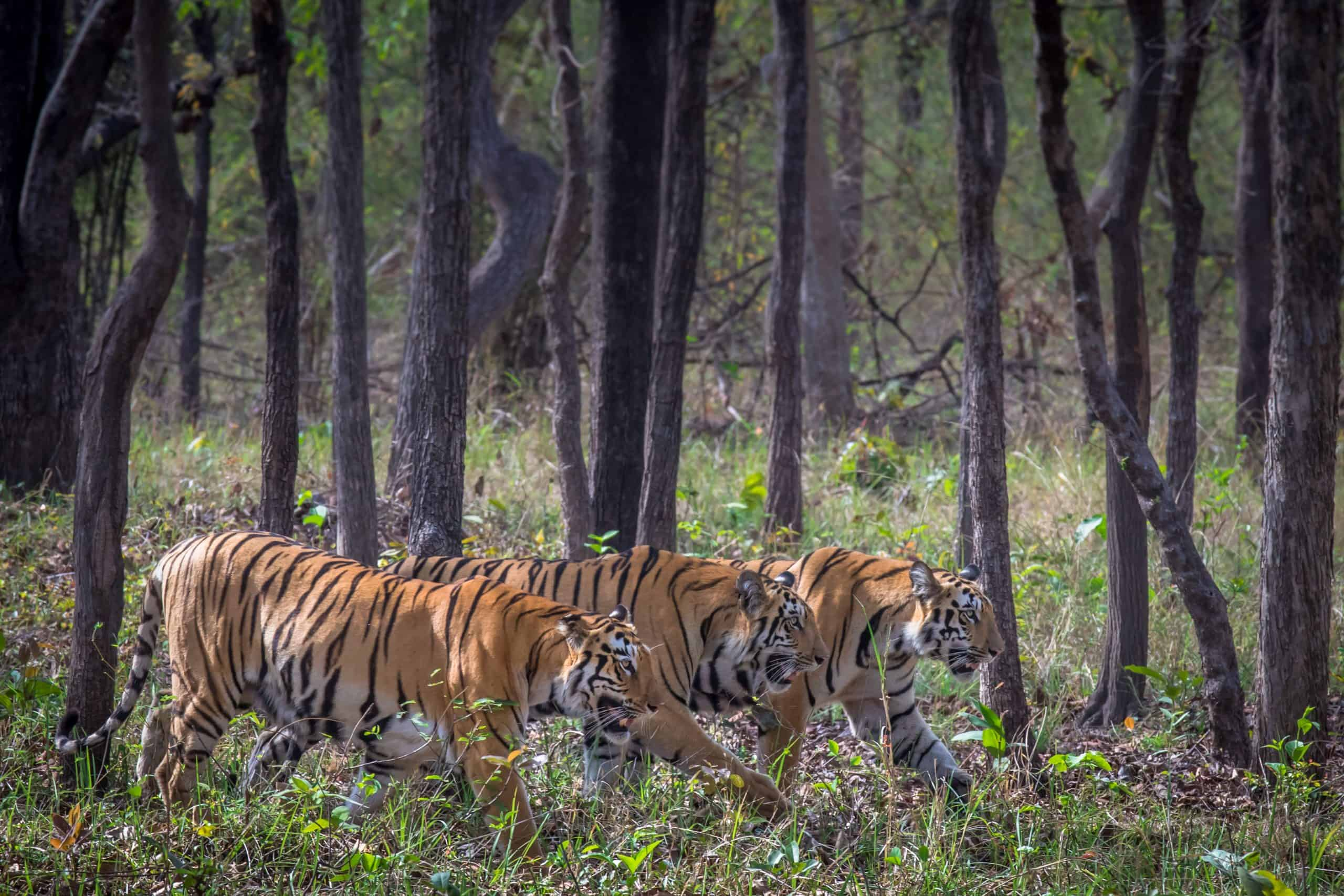 Mother and two sub adults – Tadoba (3)