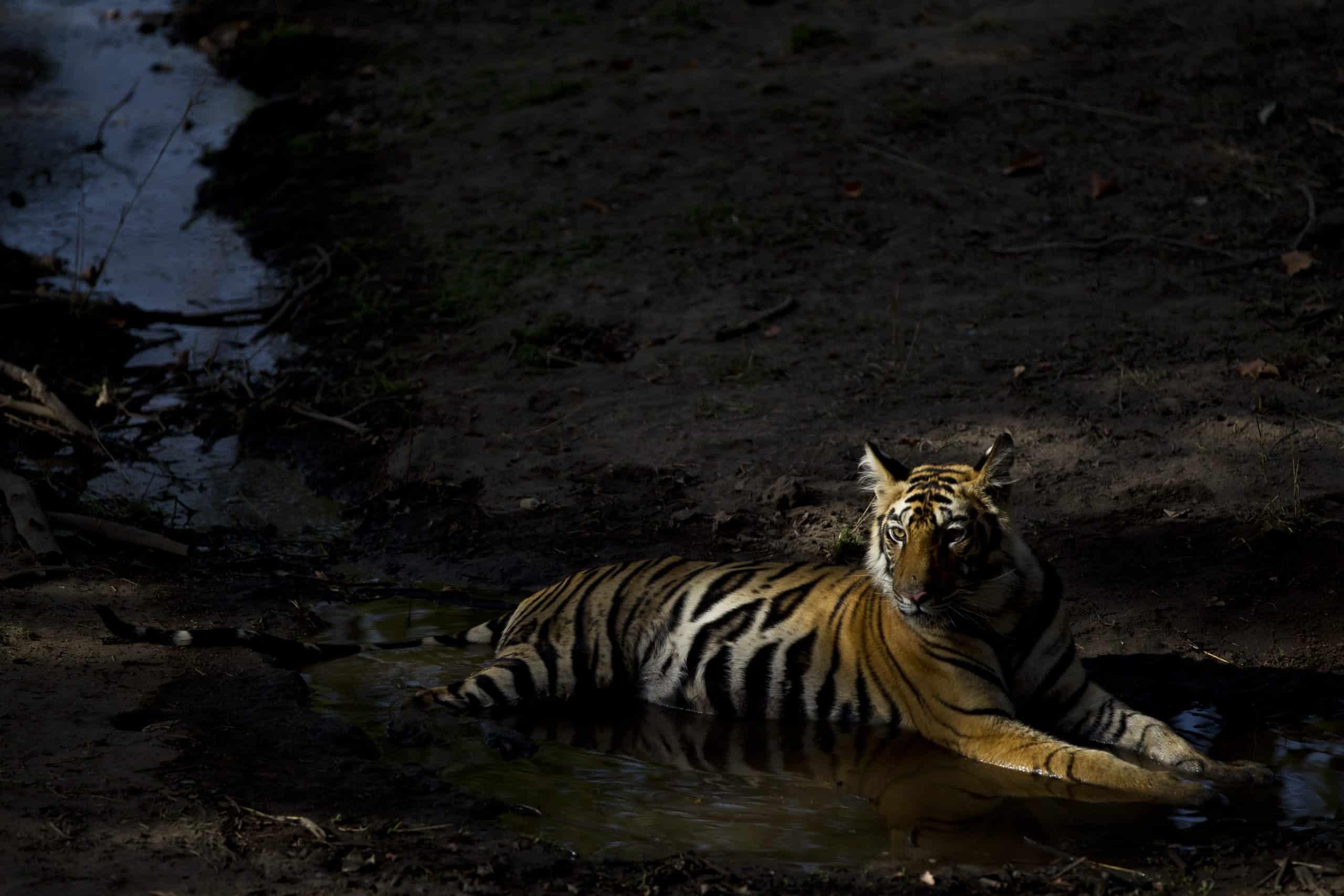 Orange and the new black, yearling Bandhavgarh