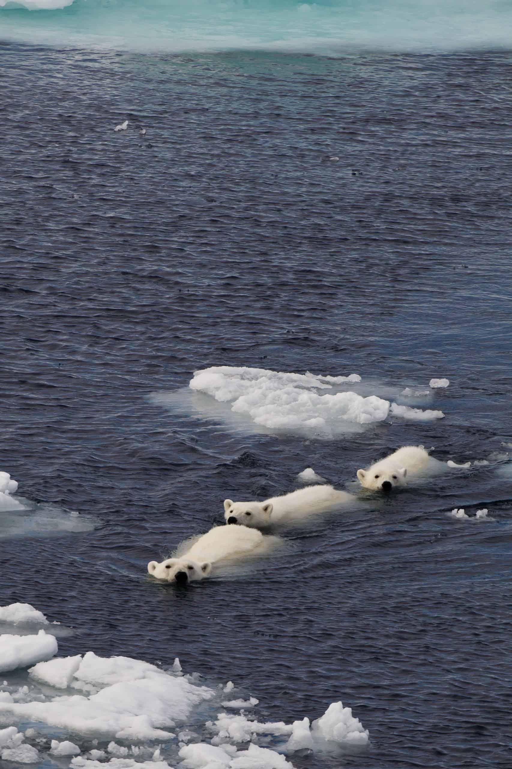 Polar bears Spitsbergen (32)
