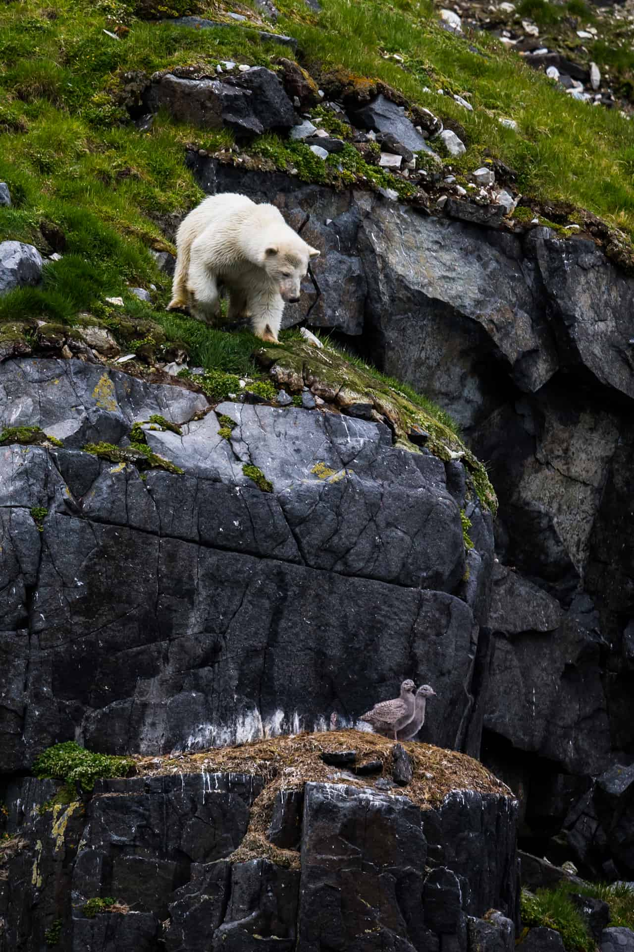 Polar bears Spitsbergen (47)