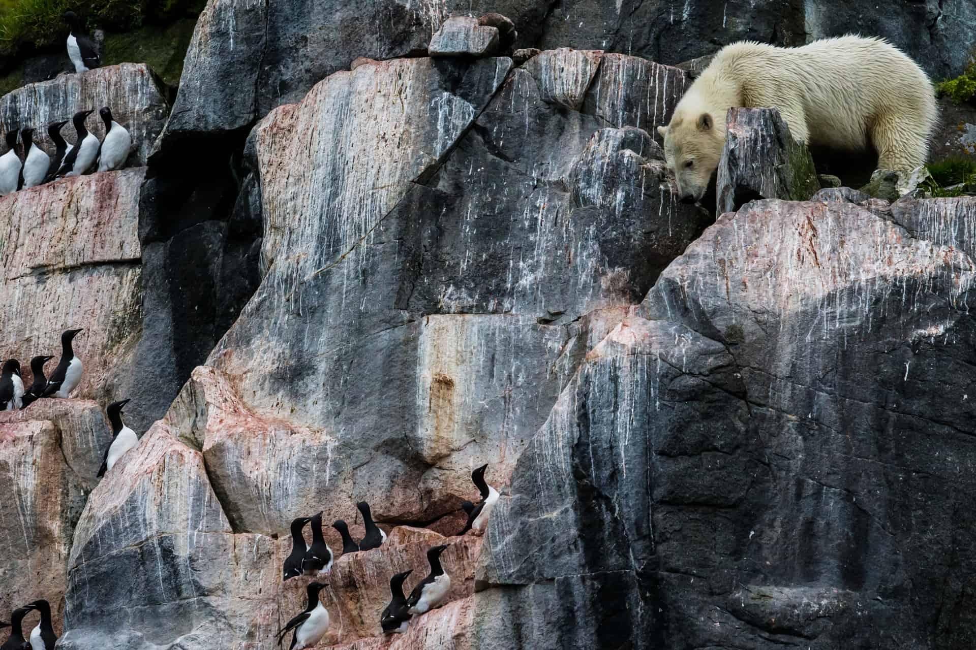 Polar bears Spitsbergen (50)