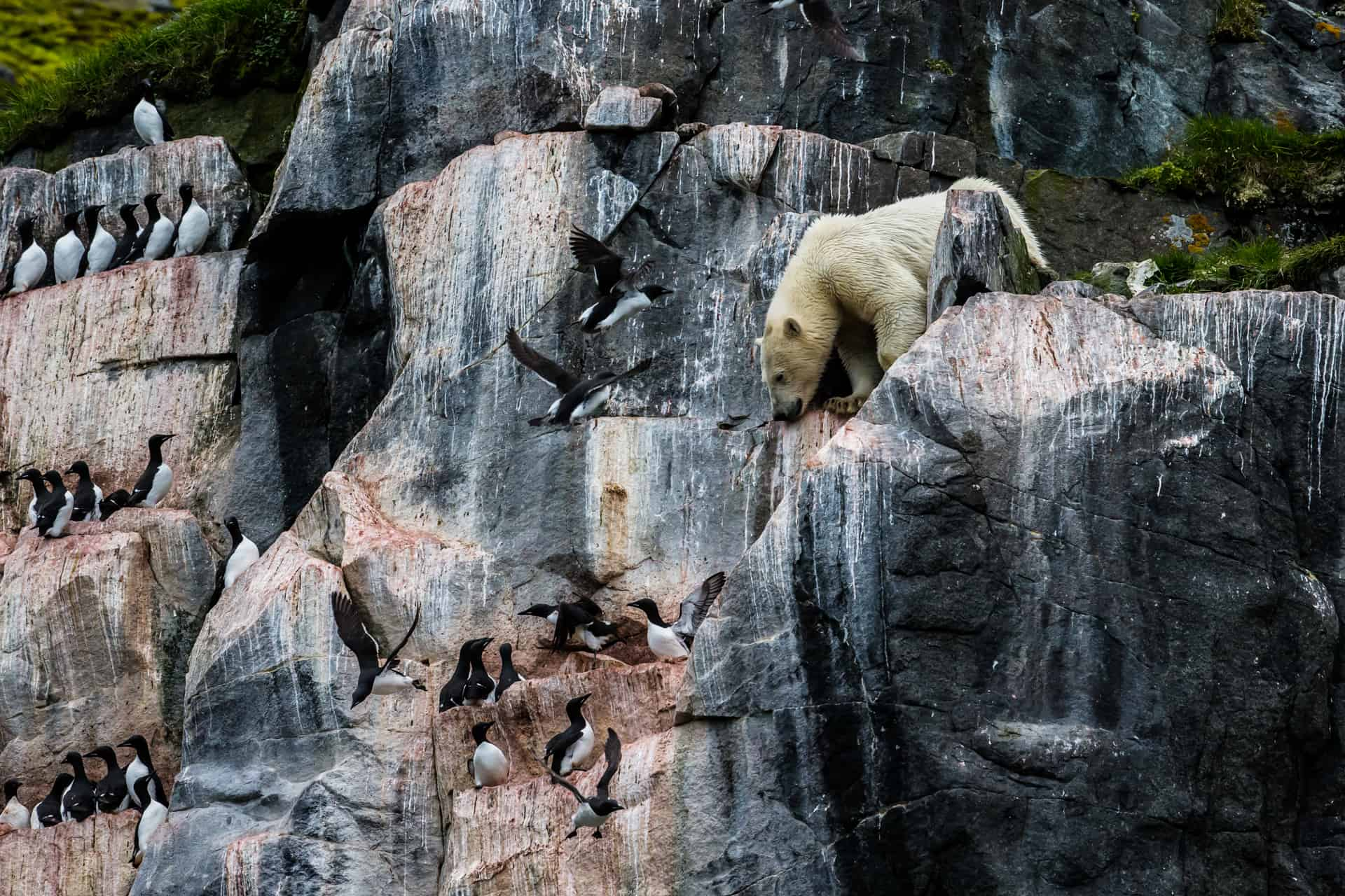 Polar bears Spitsbergen (51)