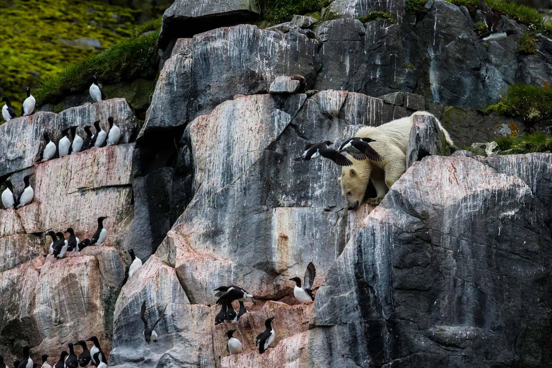 Polar bears Spitsbergen (52)