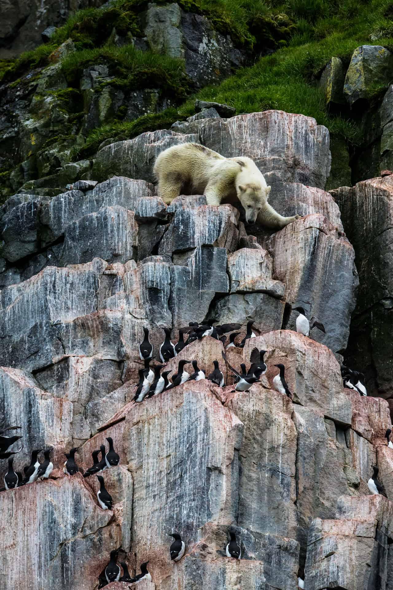 Polar bears Spitsbergen (53)