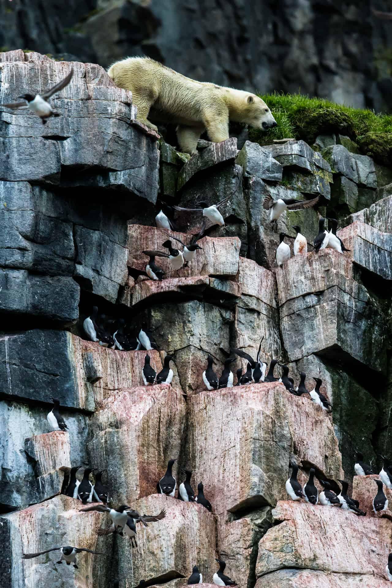 Polar bears Spitsbergen (54)
