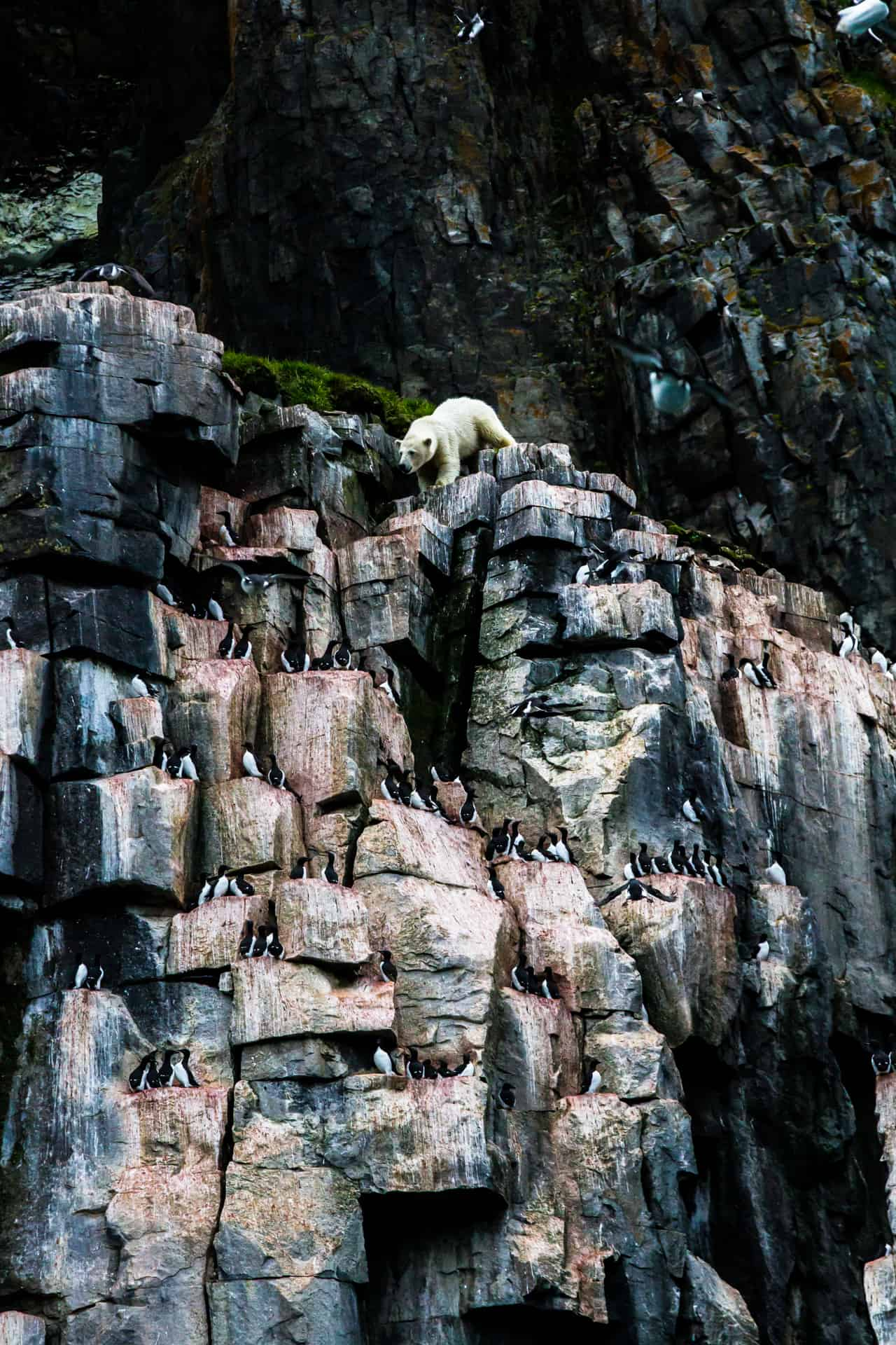 Polar bears Spitsbergen (55)
