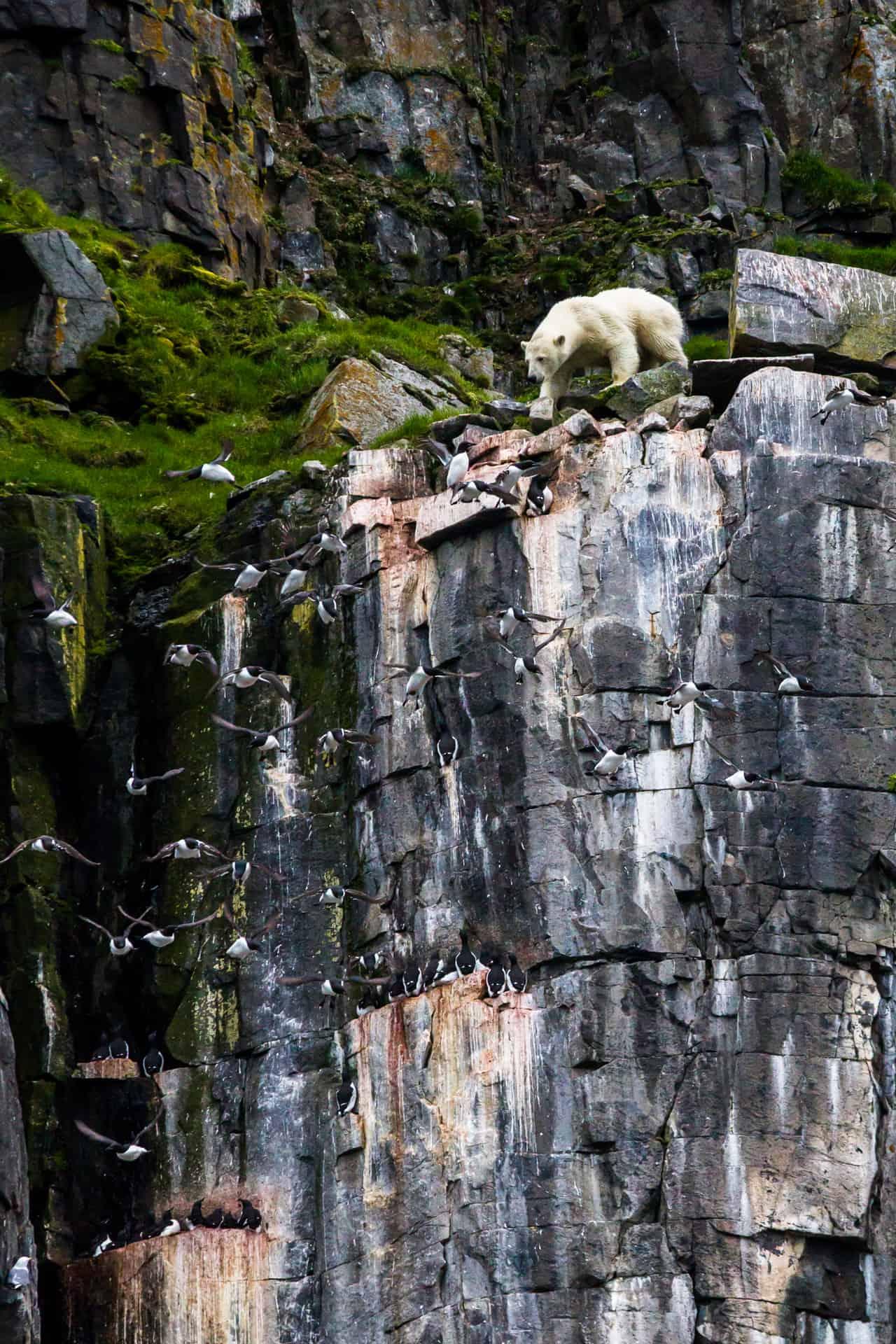 Polar bears Spitsbergen (56)