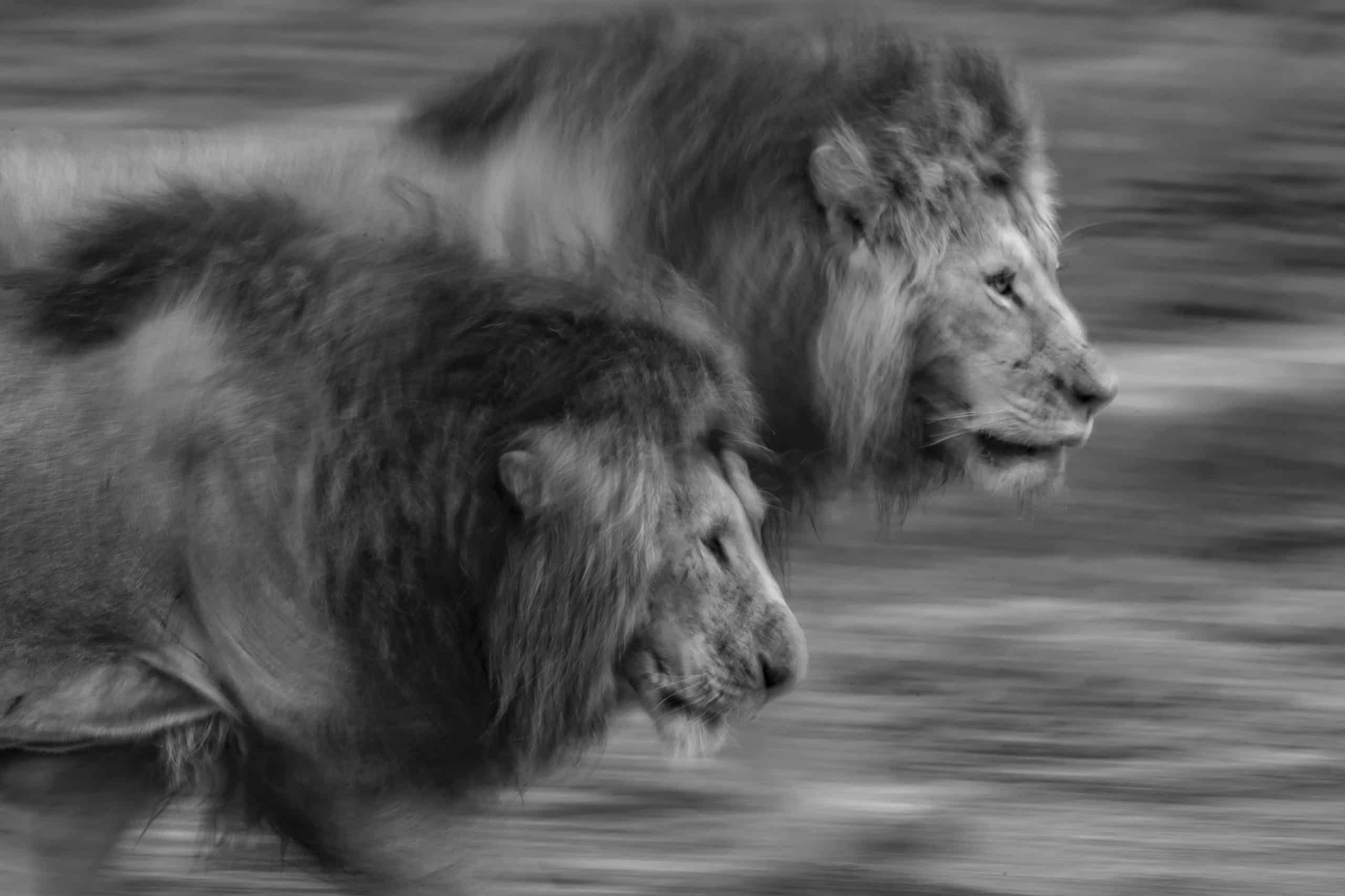 Remembering lions (38)